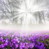Açafrões na névoa Imagens de Stock
