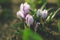 Açafrões na natureza em um fundo borrado Fotografia de Stock Royalty Free