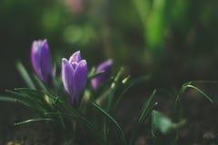 Açafrões na natureza em um fundo borrado Imagem de Stock