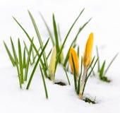 Açafrões na neve Foto de Stock Royalty Free