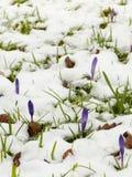 Açafrões na neve Fotos de Stock Royalty Free