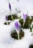 Açafrões na neve Fotografia de Stock