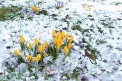 Açafrões na neve Foto de Stock