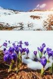 Açafrões na neve Imagem de Stock