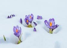 Açafrões na neve Fotos de Stock