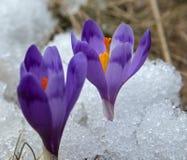 Açafrões na neve Imagens de Stock