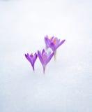 Açafrões na neve, flores roxas da mola Com mão do homem Imagens de Stock Royalty Free
