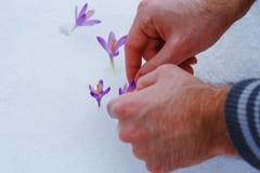 Açafrões na neve, flores roxas da mola Com mão do homem Imagens de Stock