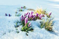 Açafrões na neve Por do sol colorido da mola sobre as cordilheiras no parque nacional Carpathians Ucrânia, Europa Imagem de Stock