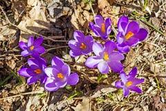Açafrões na primavera Fotografia de Stock Royalty Free