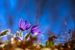 Açafrões na primavera Foto de Stock