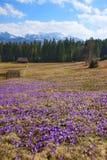Açafrões na primavera, em um prado da montanha nas montanhas de Tatra, Polônia Fotografia de Stock Royalty Free