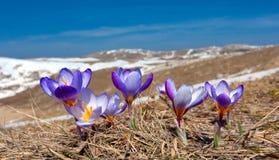 Açafrões nas montanhas Foto de Stock Royalty Free