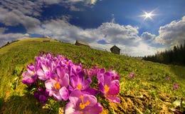 Açafrões nas montanhas Fotos de Stock