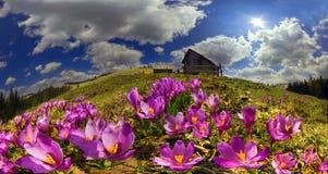 Açafrões nas montanhas Fotografia de Stock Royalty Free