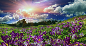 Açafrões nas montanhas Imagem de Stock Royalty Free
