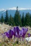 Açafrões nas montanhas Fotografia de Stock