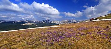 Açafrões nas montanhas de Bucegi Fotografia de Stock Royalty Free