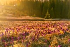 Açafrões nas montanhas em uma clareira no alvorecer Fotos de Stock Royalty Free