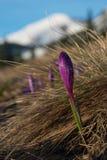 Açafrões nas montanhas - primavera Fotografia de Stock