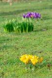Açafrões no gramado do parque na mola Imagem de Stock Royalty Free