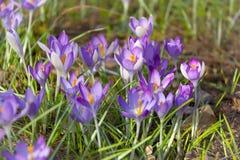 Açafrões no jardim Foto de Stock Royalty Free