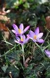 Açafrões no jardim da flor na primavera Fotografia de Stock