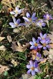 Açafrões no jardim da flor na primavera Fotografia de Stock Royalty Free