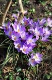 Açafrões no jardim da flor na primavera Imagem de Stock Royalty Free