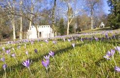 Açafrões no parque na primavera Fotografia de Stock