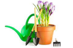 Açafrões no potenciômetro de flor do terracotta Imagens de Stock Royalty Free