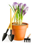 Açafrões no potenciômetro de flor do terracotta Fotografia de Stock