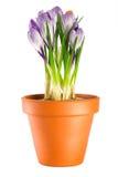 Açafrões no potenciômetro de flor do terracotta Fotos de Stock