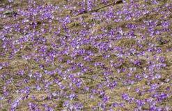 Açafrões no prado Imagem de Stock
