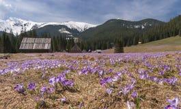 Açafrões no prado da montanha Tatry Fotografia de Stock