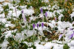 Açafrões no prado nevado Imagens de Stock Royalty Free