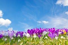 Açafrões no sol Imagens de Stock Royalty Free