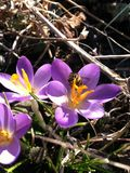 Açafrões no sol Imagem de Stock Royalty Free