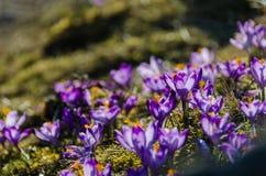 Açafrões no vale Chocholowska Imagens de Stock Royalty Free