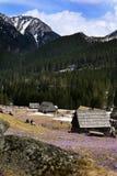 Açafrões no vale de Chocholowska Foto de Stock