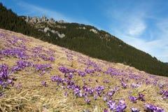 Açafrões no vale de Chocholowska Foto de Stock Royalty Free