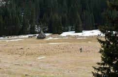 Açafrões no vale de Chocholowska Imagens de Stock