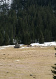Açafrões no vale de Chocholowska Fotos de Stock Royalty Free