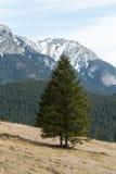 Açafrões no vale de Chocholowska Imagens de Stock Royalty Free