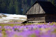 Açafrões no vale de Chocholowska, montanha de Tatras, Polônia Imagens de Stock Royalty Free