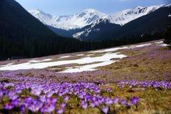 Açafrões no vale de Chocholowska, montanha de Tatras, Polônia Fotografia de Stock
