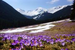 Açafrões no vale de Chocholowska, montanha de Tatras, Polônia Imagens de Stock