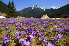 Açafrões no vale de Chocholowska, montanha de Tatras, Polônia Imagem de Stock
