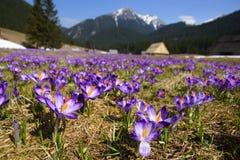 Açafrões no vale de Chocholowska, montanha de Tatras, Polônia Foto de Stock