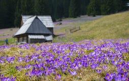 Açafrões no vale de Chocholowska, montanha de Tatras, Polônia Foto de Stock Royalty Free